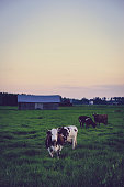istock Cow herd at evening on farm meadow, Finland 804055366
