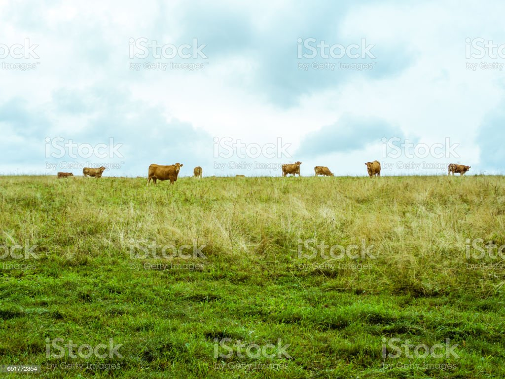Cow herd grazing on the horizon, vibrant simple pasture stock photo