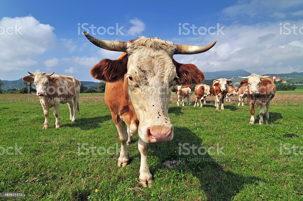 Cow herd in a field stock photo