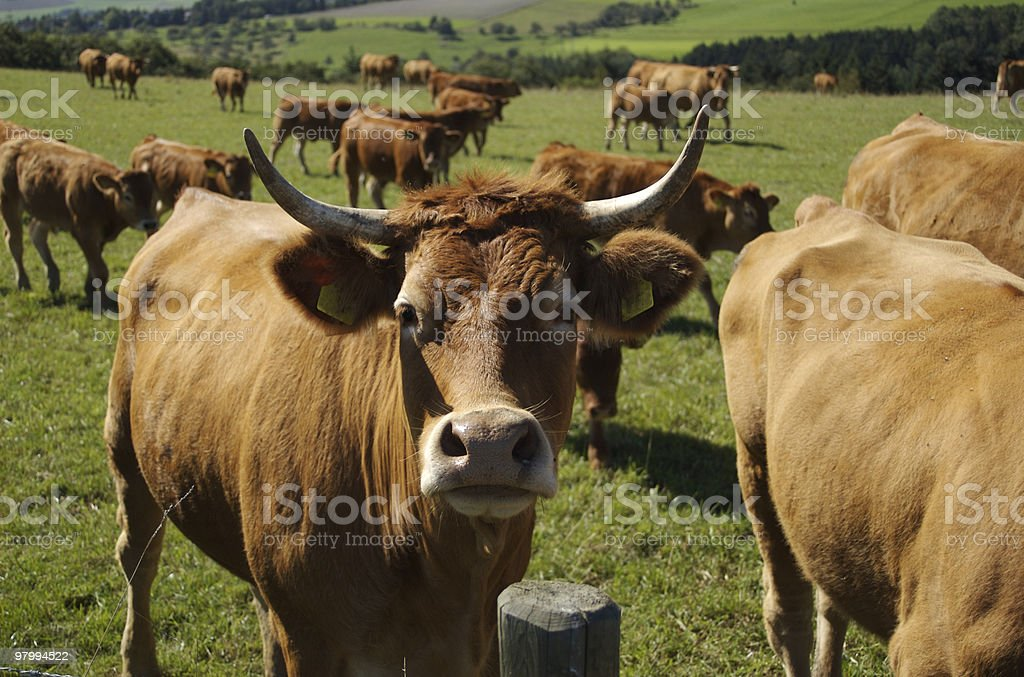 Cow herd in farmland, Germany royalty-free stock photo