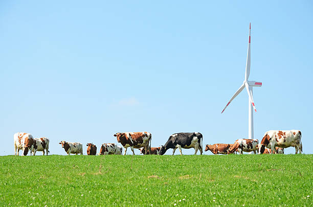 Cow herd on pasture in front of wind turbine stock photo