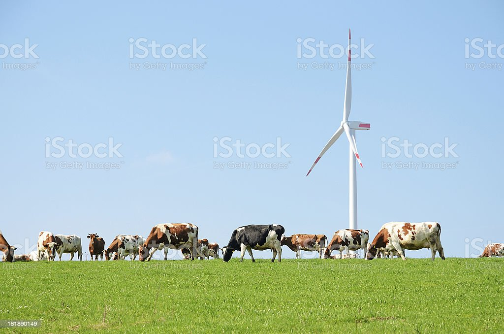 Cow herd on pasture in front of wind turbine royalty-free stock photo