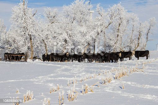 Herd of Black Angus cows standing by frost covered trees.