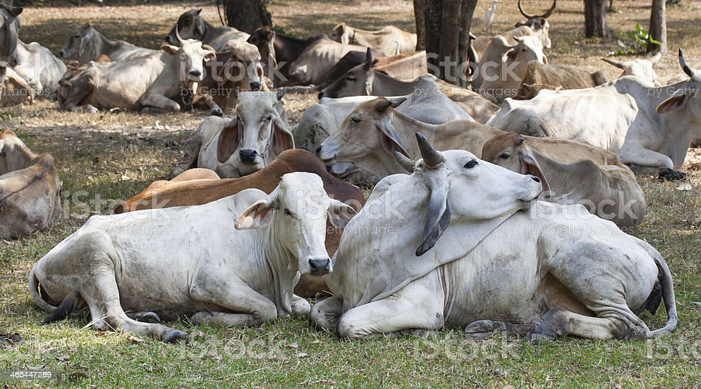cow herds royalty-free stock photo