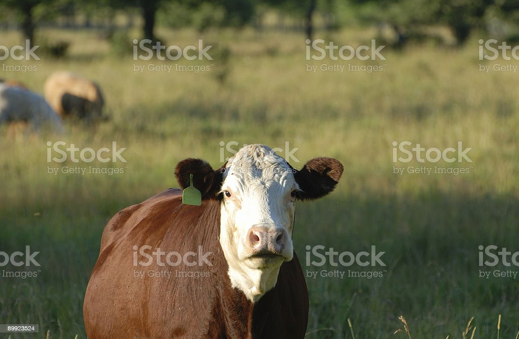 Cow - Hereford stock photo