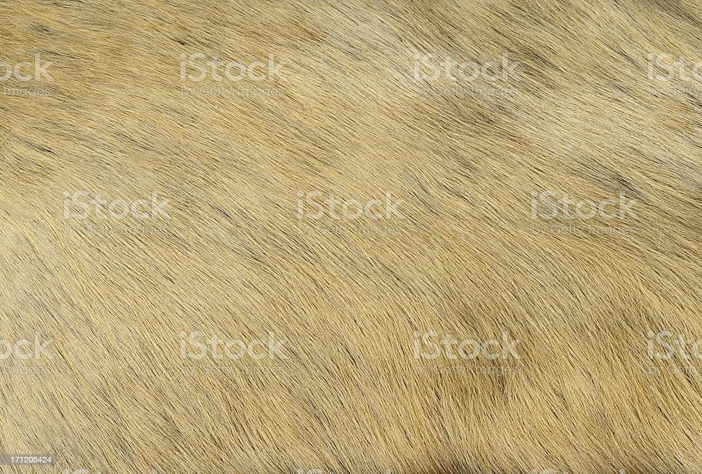 cow hide royalty-free stock photo