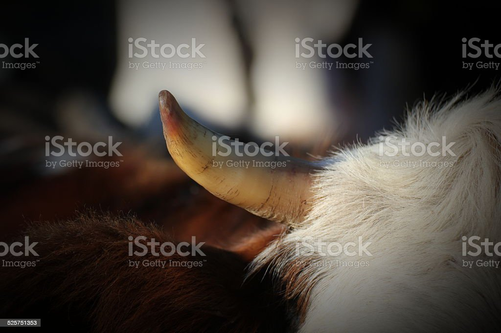 Cow Horn stock photo
