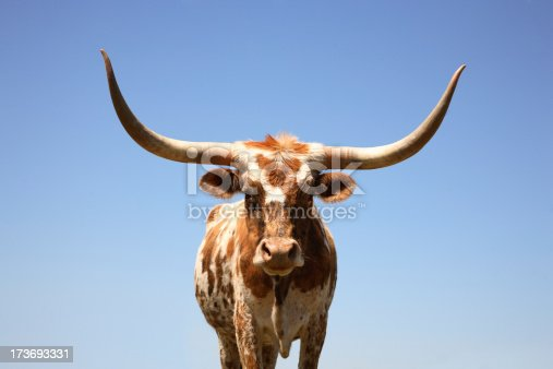 Texas longhorn cow shot at a slightly low perspective.