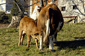cow husbandry in the alps, with calf and mother cow on a green meadow