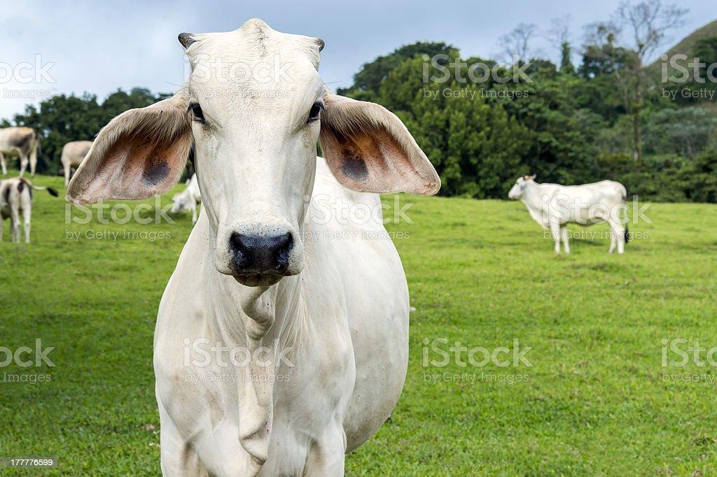 Cow in a farmland stock photo