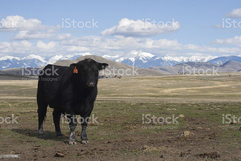 Kuh im Feld – Foto