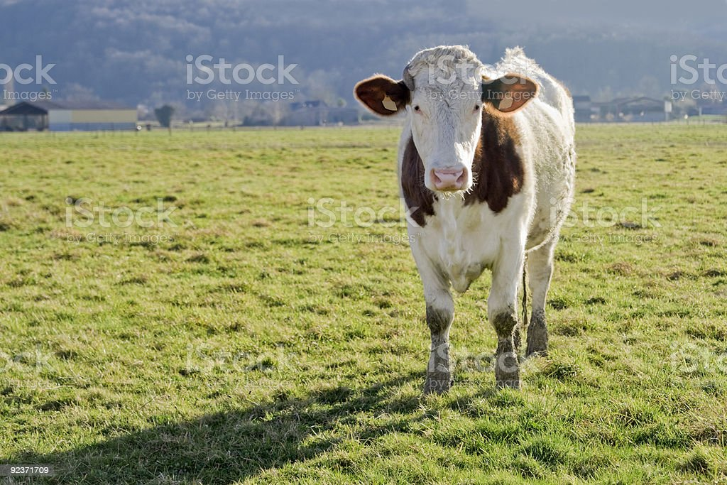 Cow in a field. royalty-free stock photo