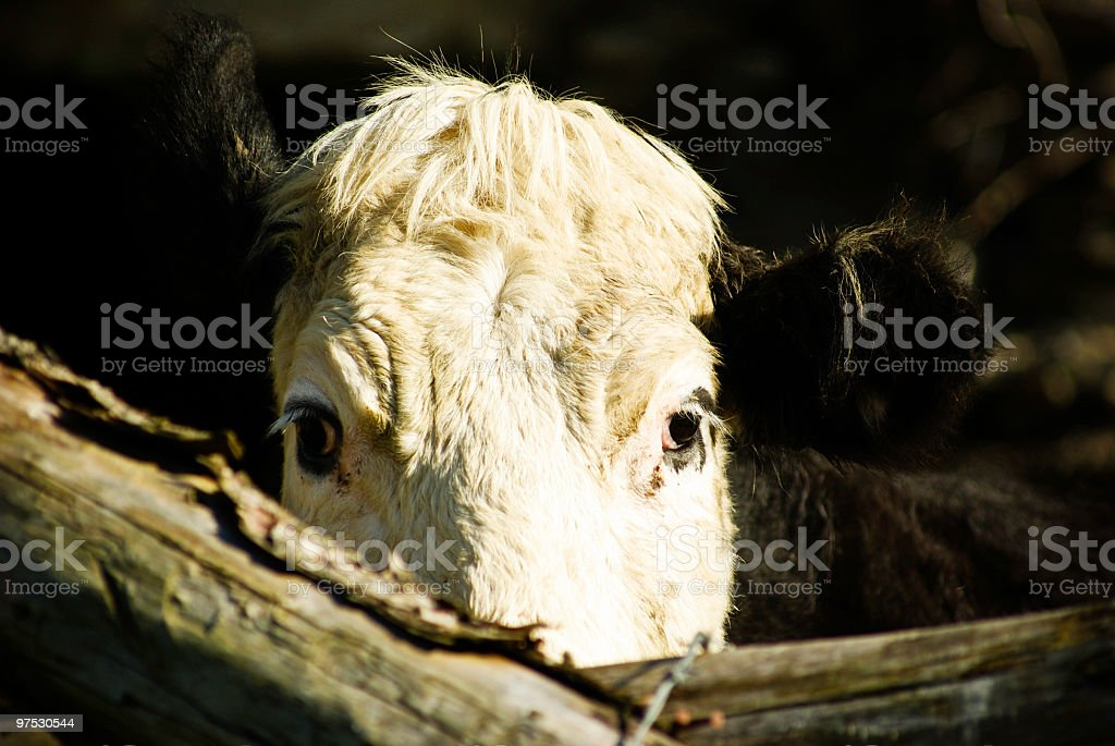 Cow in a field, Tipperary, Ireland royalty-free stock photo