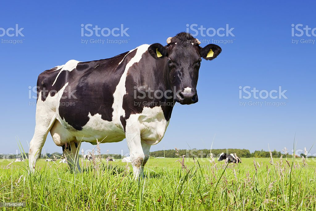Cow in a fresh grassy field on a clear day stock photo