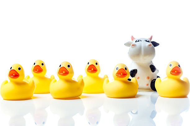 Cow in a group of yellow rubber ducks stock photo