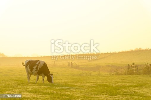 Cow in a meadow during a misty sunrise with dew on the grass  in the IJsseldelta region.