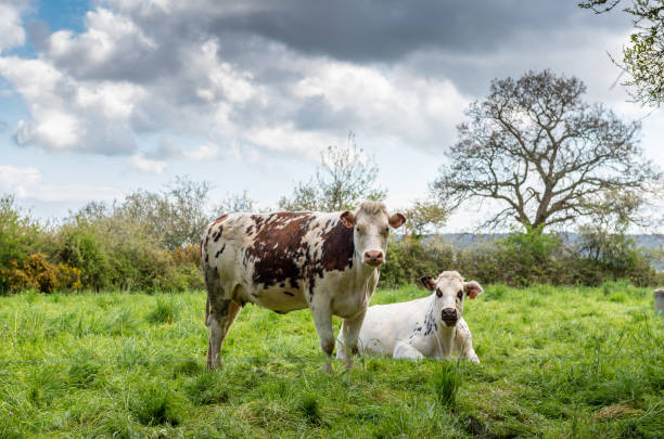Cow in a meadow  in Normandy, France Cow in a meadow  in Normandy, France normandy stock pictures, royalty-free photos & images