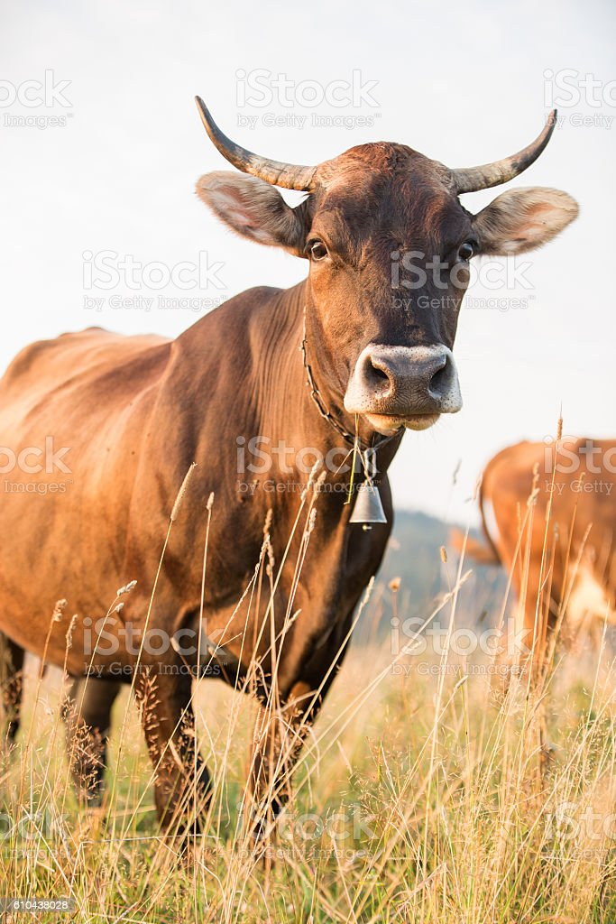 Cow in a pasture in the mountains just before sunset stock photo