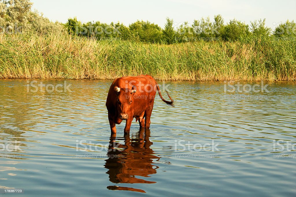 Cow in a river royalty-free stock photo
