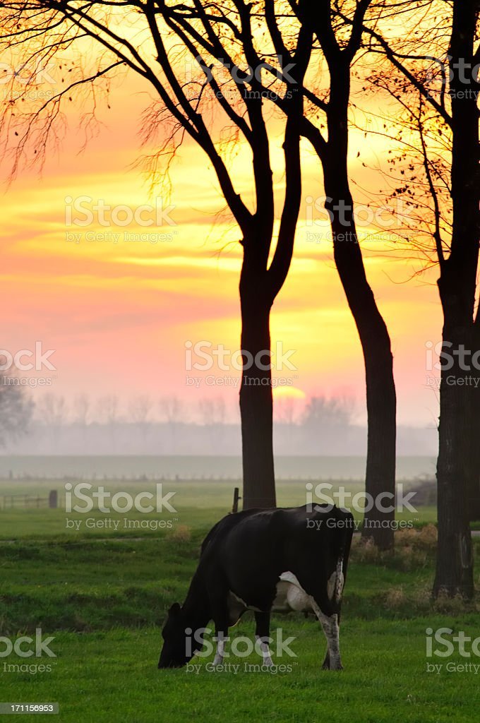 Cow in a Sunset royalty-free stock photo