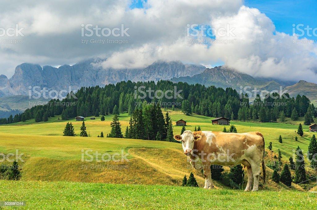 Cow in Alpi di Siusi, Dolomites, italy stock photo
