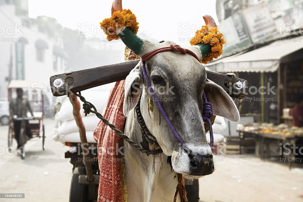 cow in an indian street royalty-free stock photo
