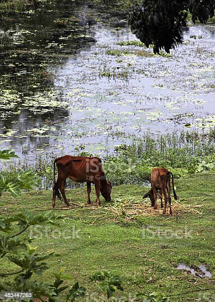 Cow in Bangladesh