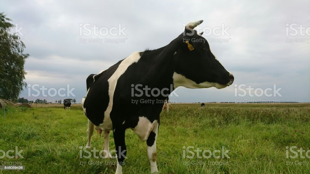 Cow in cloudy day stock photo