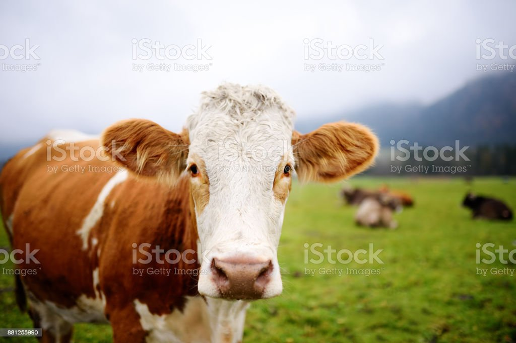Cow in European meadow near famous castle Neuschwanstein. Bavaria, Germany (Deutschland) stock photo