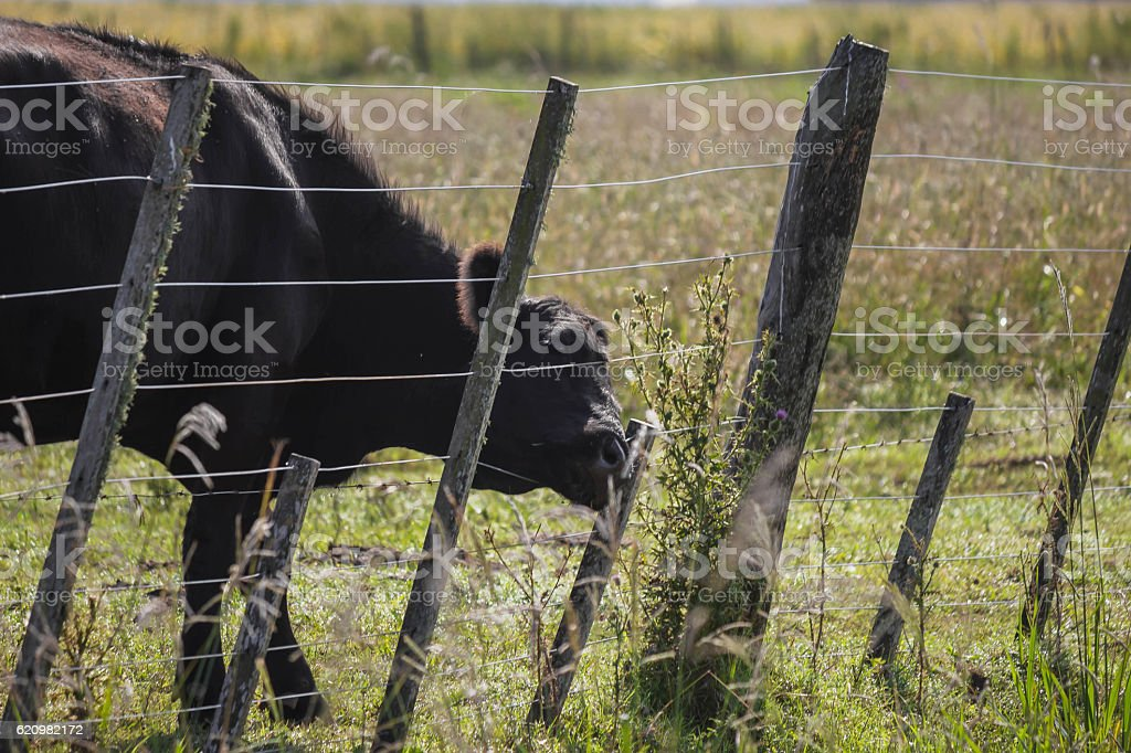 cow in field Argentina foto royalty-free
