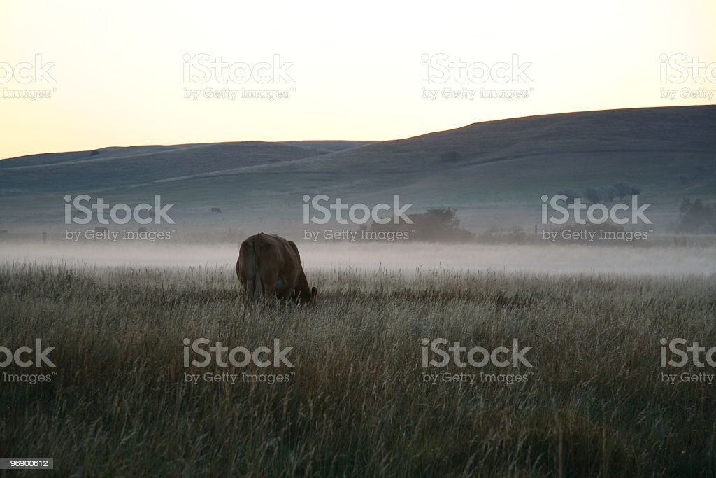 Cow in Fog at dawn royalty-free stock photo