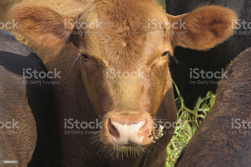 Kuh in herd. Lizenzfreies stock-foto
