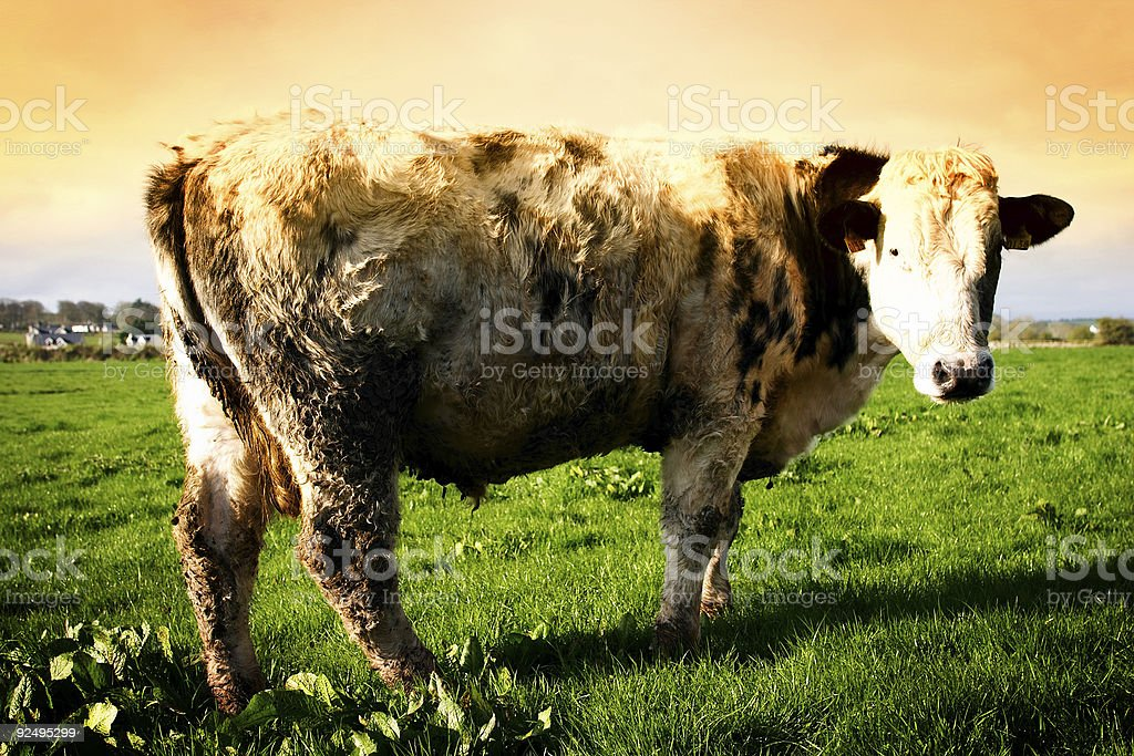 Cow in Irish Field royalty-free stock photo