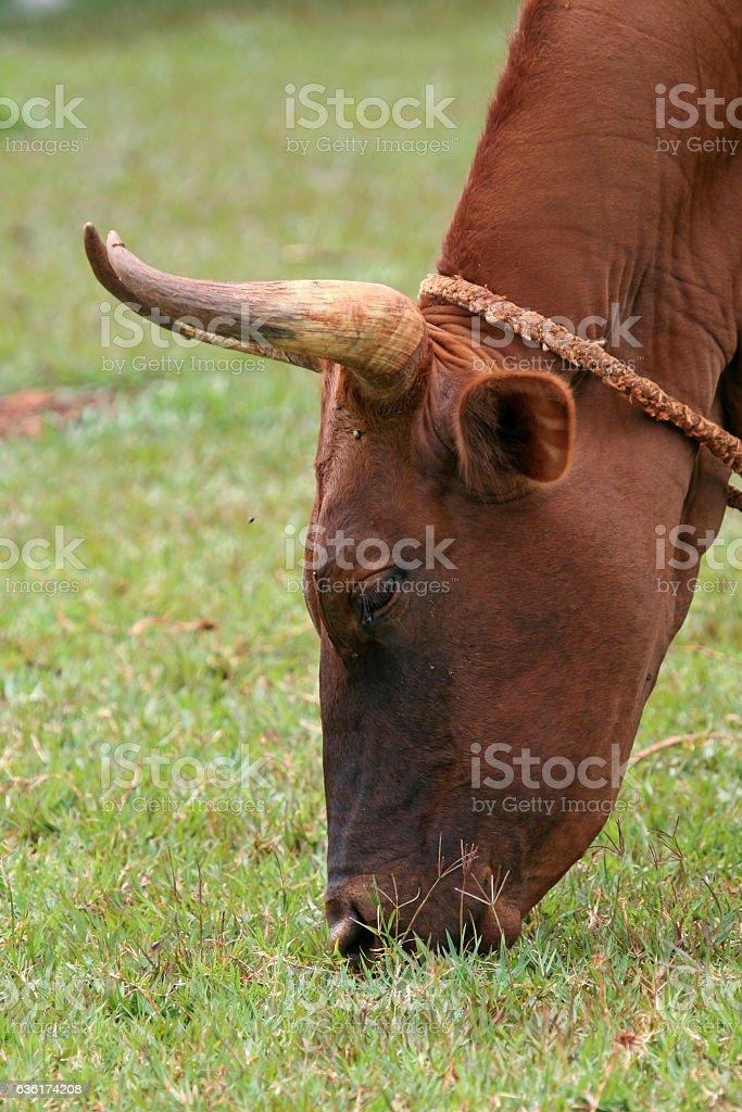 Cow in Jinja Town in Uganda - The Pearl of Africa stock photo