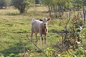 Vaches dans un champs avec leurs bébés