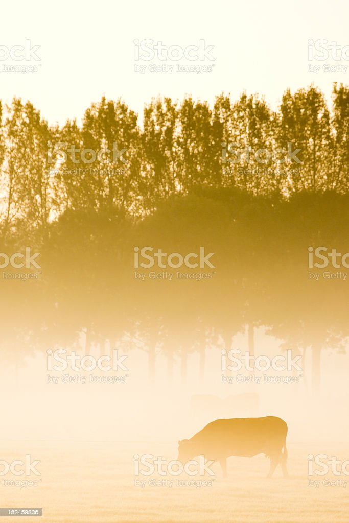 Cow in morning mist royalty-free stock photo