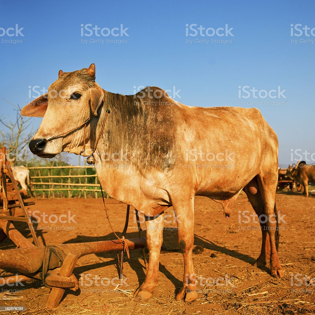 Cow in Myanmar royalty-free stock photo