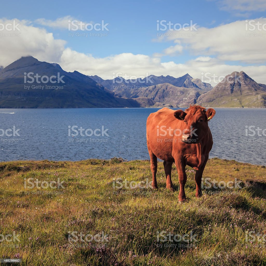 Cow in nature with the sea and mountains stock photo