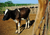 Cow in pasture for cattle breeding in backyard, next to a fence, in the hinterland of Ceará state. Drought-affected region, economical crisis, poverty, lean animals. Livestock, beef, pasture.