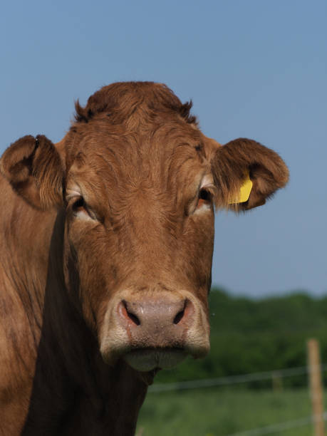 cow in pasture - cud stock pictures, royalty-free photos & images