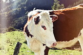 A Cow looks to the camera in a Rural Scene
