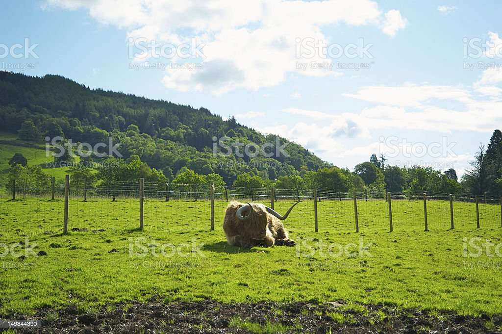cow in scotland royalty-free stock photo