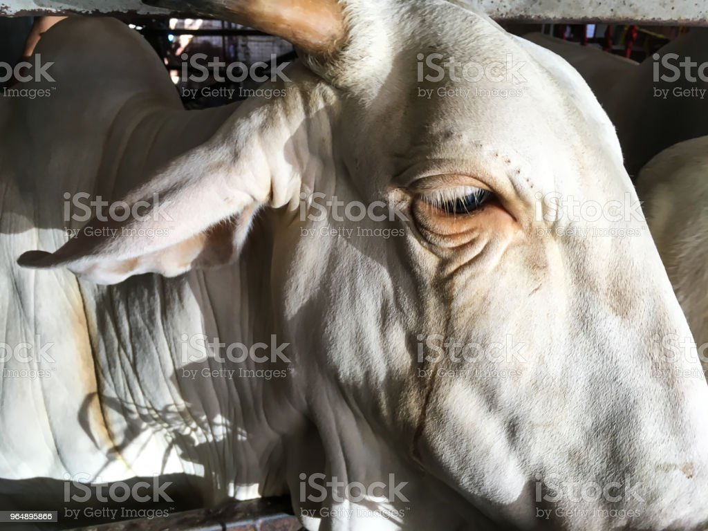 Cow in stable with hay, Thailand royalty-free stock photo