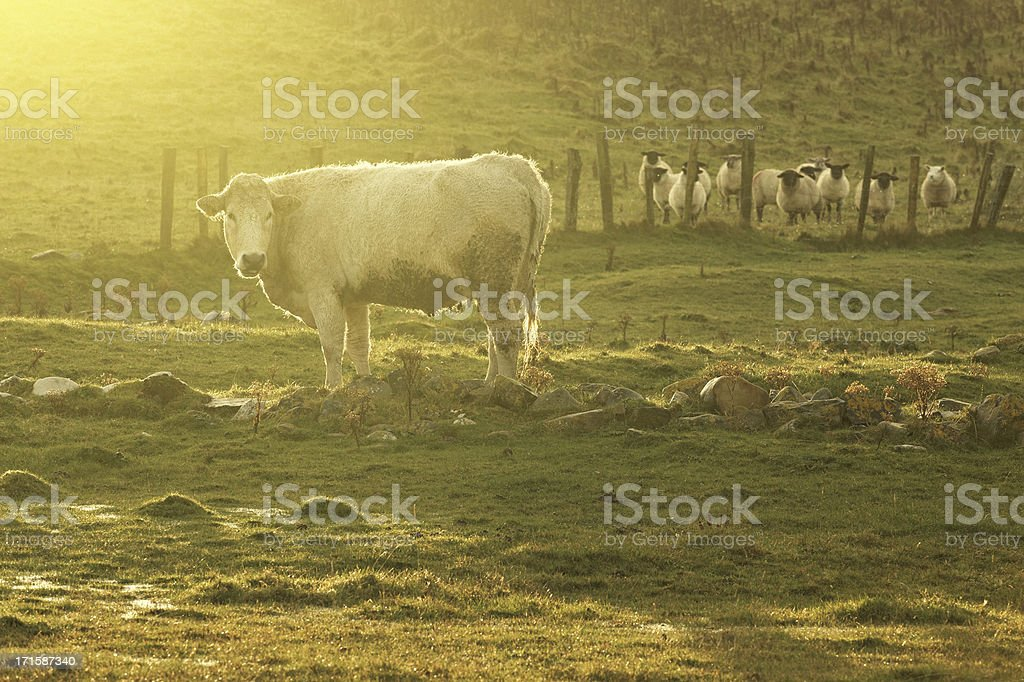 cow in sunlight royalty-free stock photo