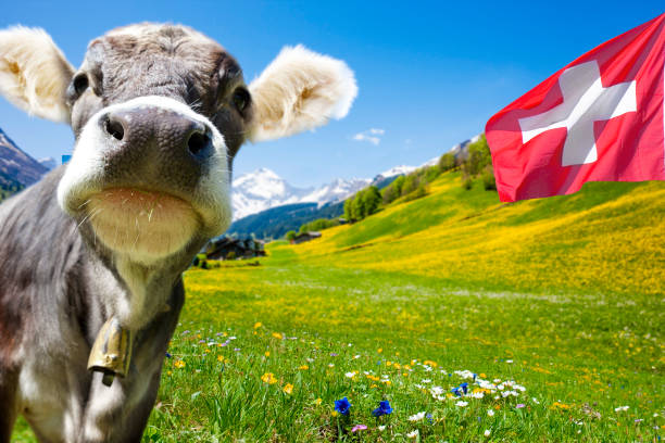 Cow in Swiss Montains Cow in Swiss Montains switzerland stock pictures, royalty-free photos & images