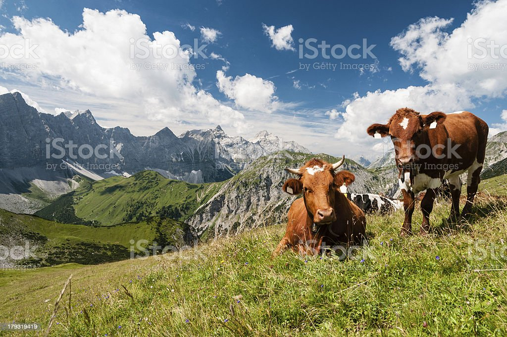 Cow in the Alps royalty-free stock photo