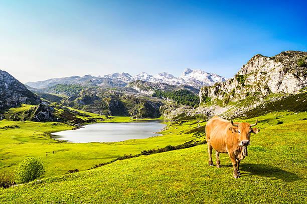 Vaca en el lago Ercina (lakes de Covadonga), Asturias, España - foto de stock