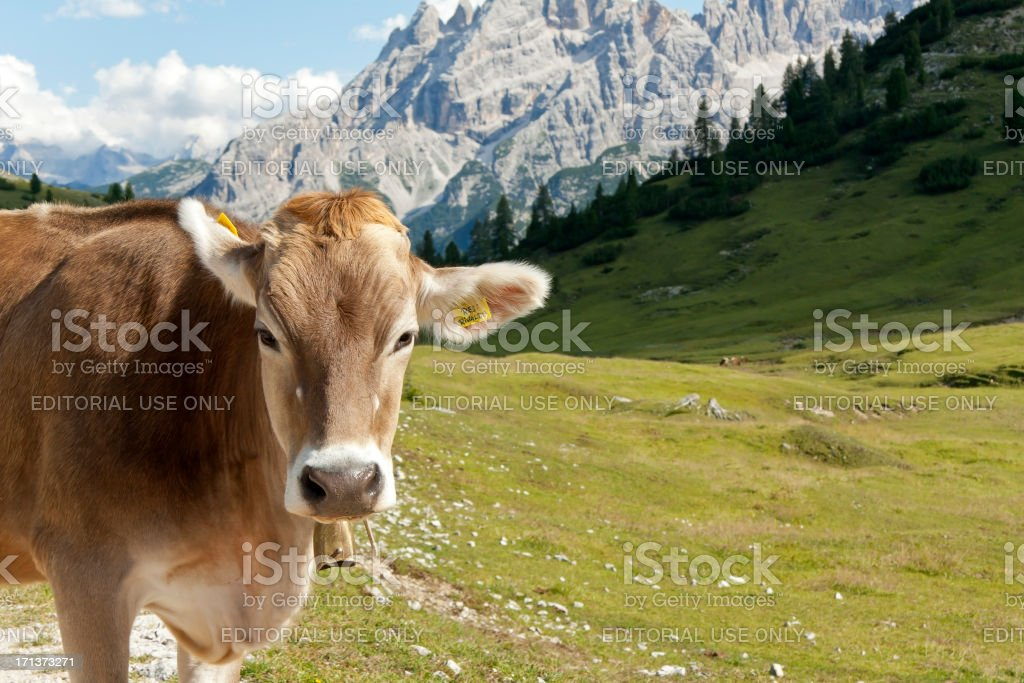 Cow in the European Alps royalty-free stock photo