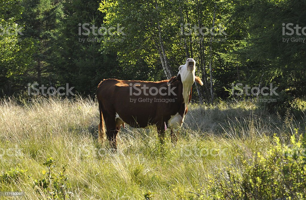 Cow in the field stock photo