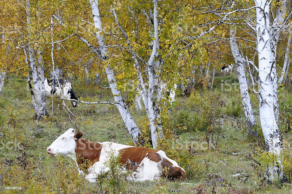 Cow in the forest royalty-free stock photo